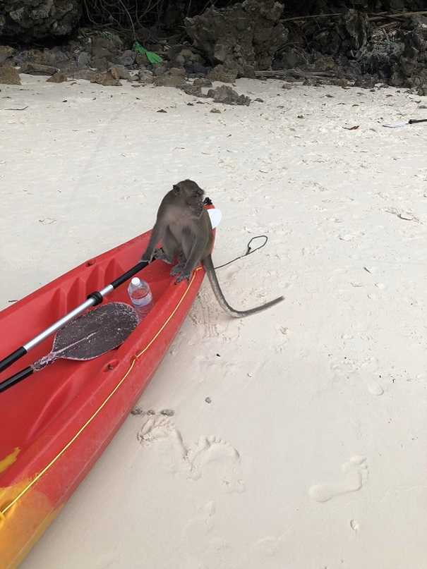 Małpy na Monkey Beach - Phi Phi
